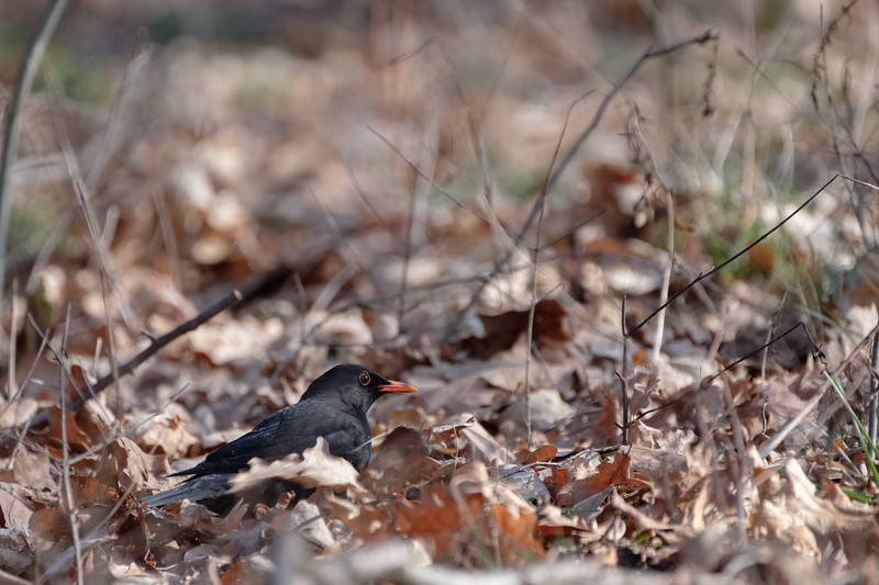 kos | blackbird | turdus merula