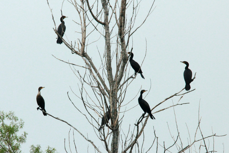 Double-crested Cormorants @ Clarence Cannon NWR