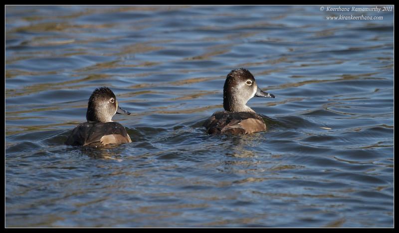 Pair of female ring-necked ducks, Santee Lakes, San Diego County, California, December 2011