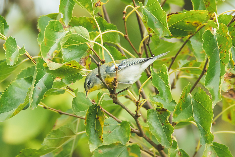 A northern parula at the celerby bog in west lafayette, indiana