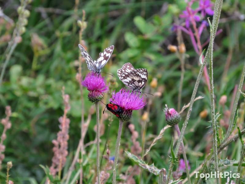 Butterflies in Vetan in the Aosta Valley, Italy