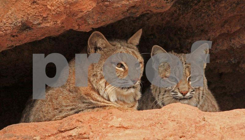 Bobcats resting at the entrance to their den. Bobcats 7027