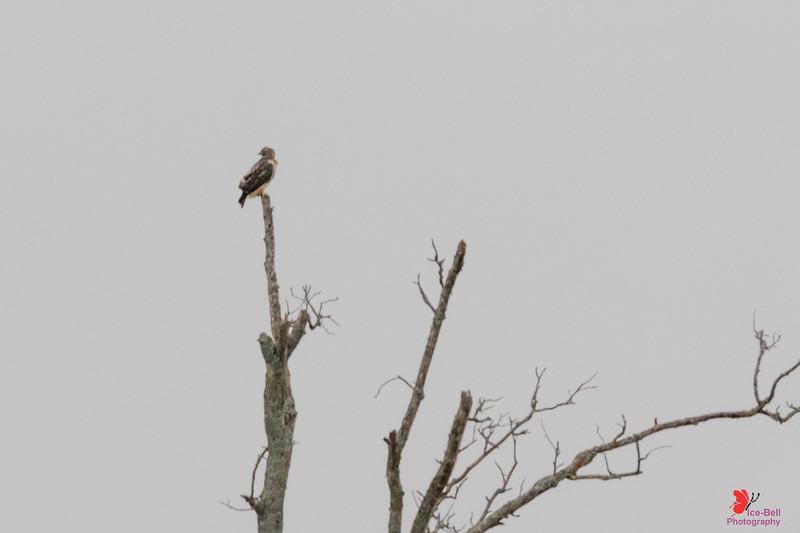 20191214-OutsideSummersvilleMO-Hawk-1wm.jpg