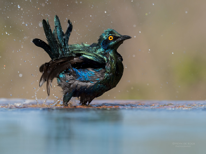 Greater Blue-eared Starling, Sabi Sands (EP), SA, Oct 2016-5.jpg