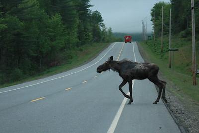 Mangey Spring Moose