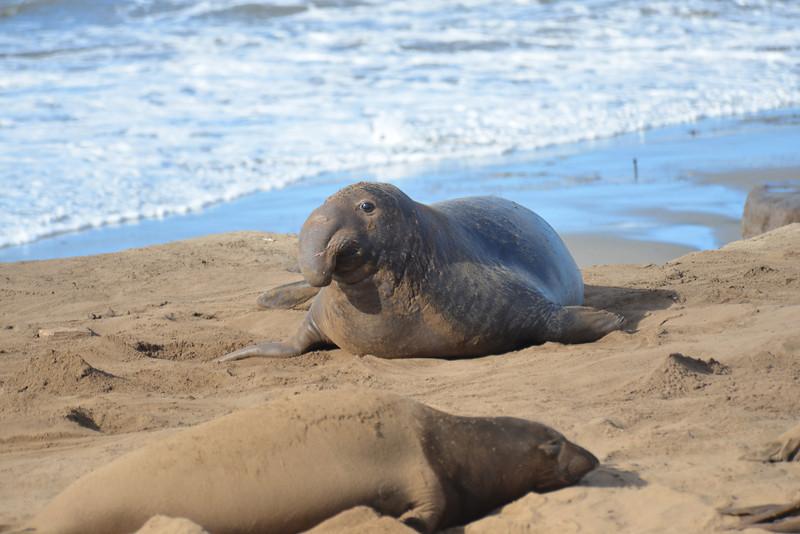ano-nuevo-elephant-seals-2013 50.jpg
