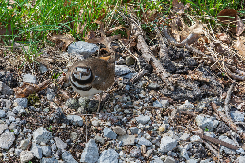 Pickle-Killdeer-guarding4eggs-4.14d.jpg
