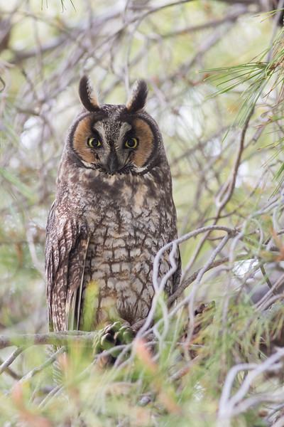 Long-Eared Owl, Mercey Hot Springs, CA