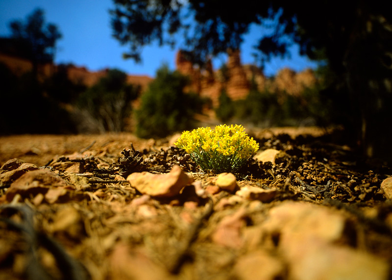 1-flowers-Contax-645-Velvia-Red-Rock-Canyon.jpg