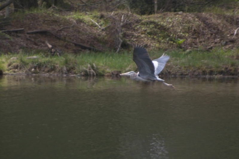 Heron flight up.jpg