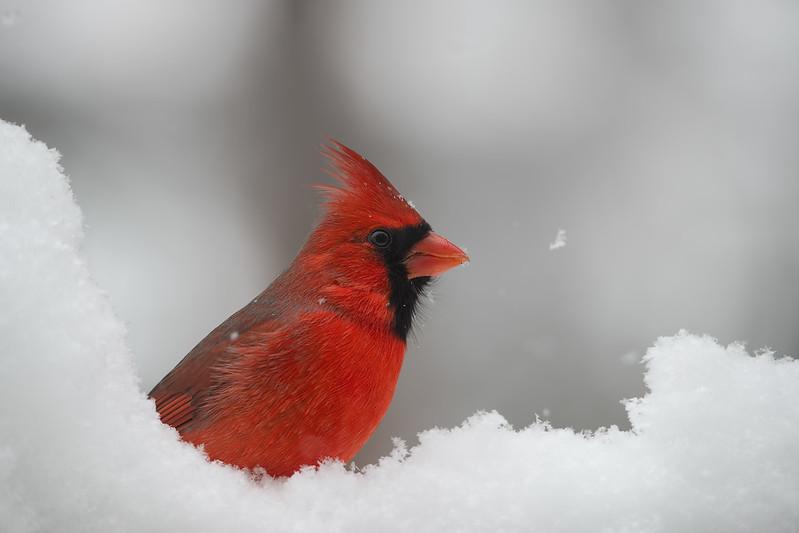 Cardinal in snow shower copy 16x24.jpg
