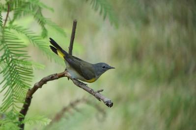 Migratory Birds in Backyard
