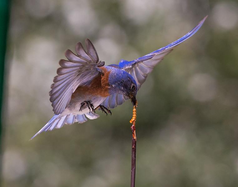 Robin-122.jpg