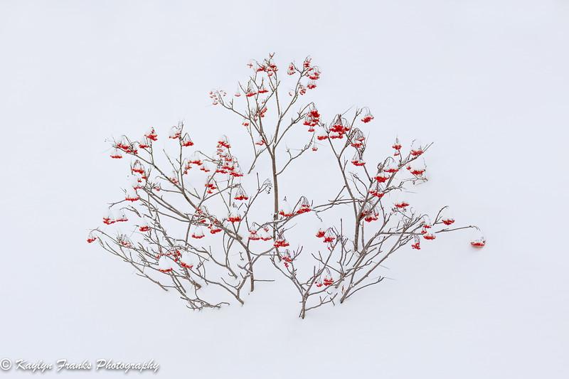 20190101_Winter Berry-2.jpg
