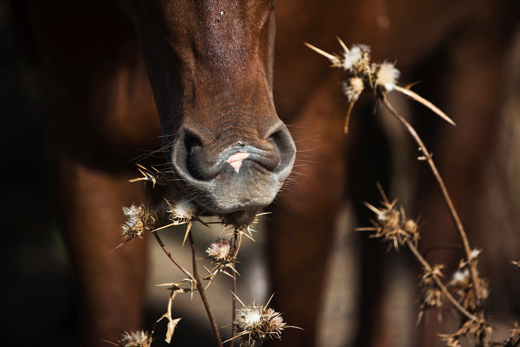 . A horse eats on a ranch just outside Moshav Yonatan, a collective farming community, about 2 km (1 mile) south of the ceasefire line between Israel and Syria in the Golan Heights May 21, 2013.  REUTERS/Nir Elias