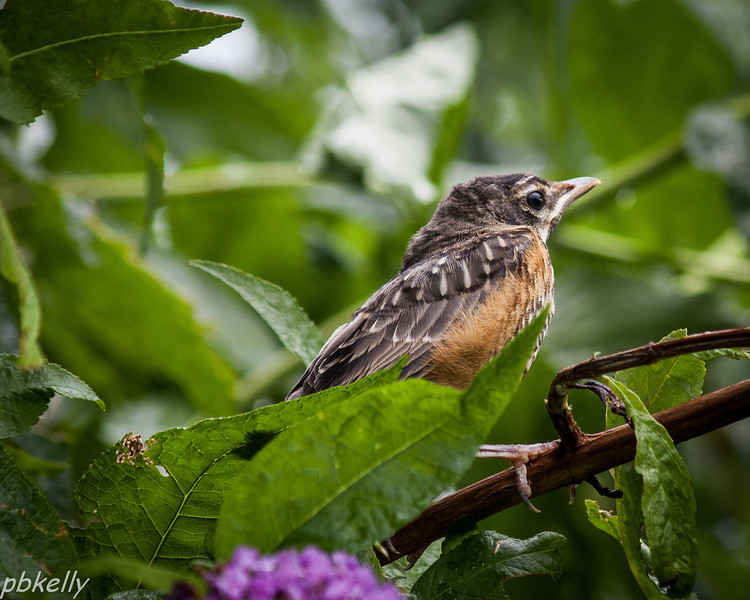 July 20.  This juvenile Robin sat in the butterfly bush and cheeped for well over an hour.  Its mother finally came for him.