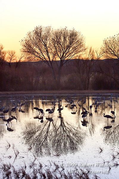 Sunset, Sandhill Cranes, Grus canadensis, Bosque del Apache National Wildlife Refuge, New Mexico, USA, North America