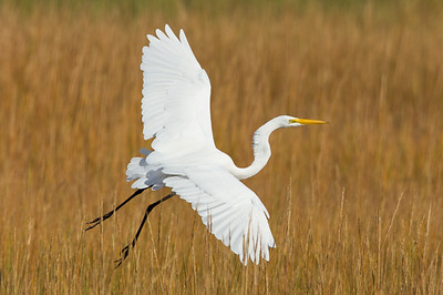 Egret and Swan