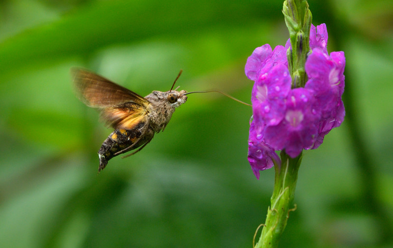 Humming-bird-hawk-moth-goa.jpg
