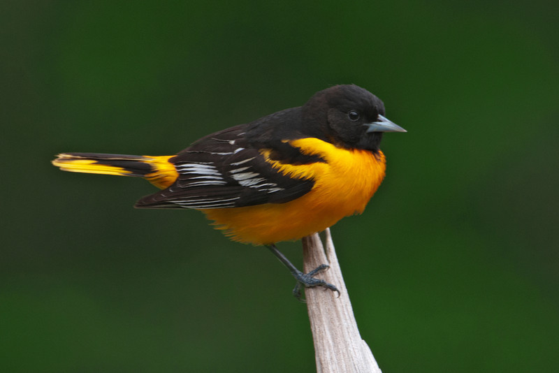 Oriole - Baltimore - male - Dunning Lake, MN - 16