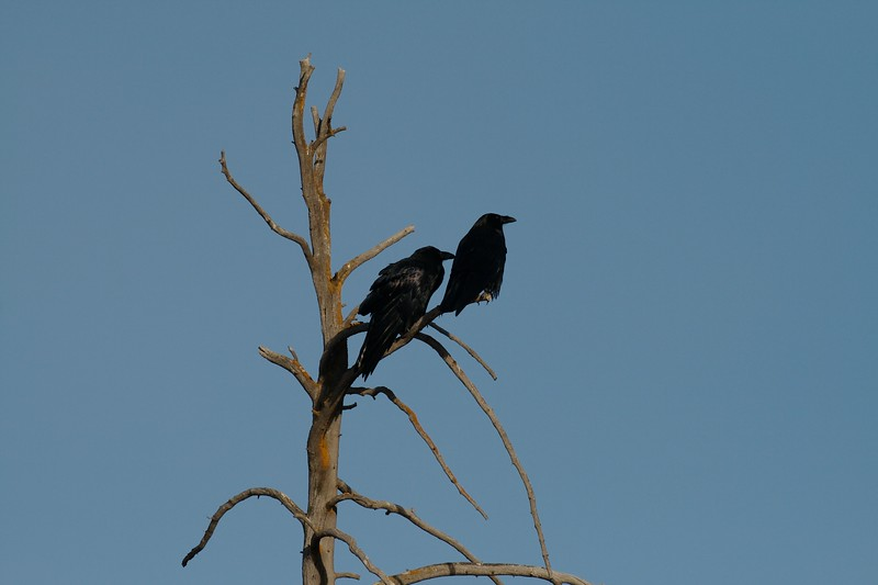 Ravens begin nesting early in the year; Even as early as February [September; Yellowstone National Park, Wyoming]