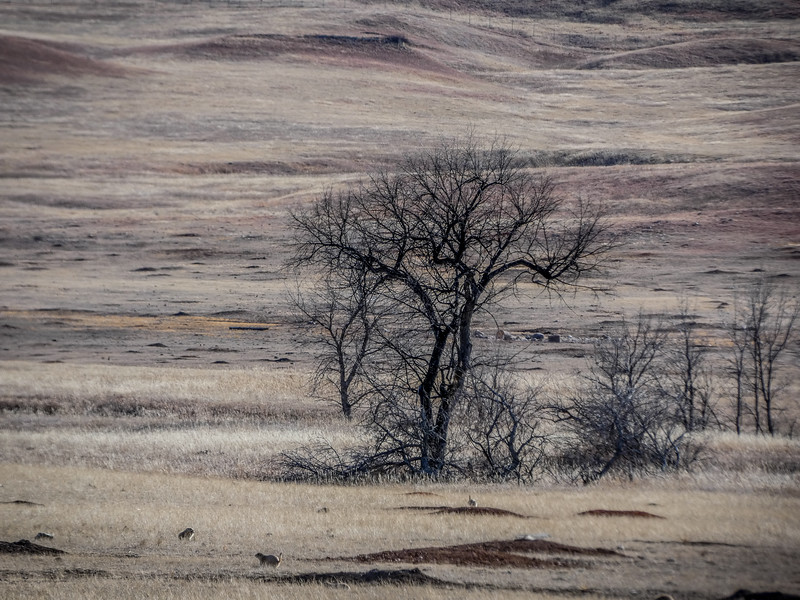 Prairie Dogs - Custer State Park