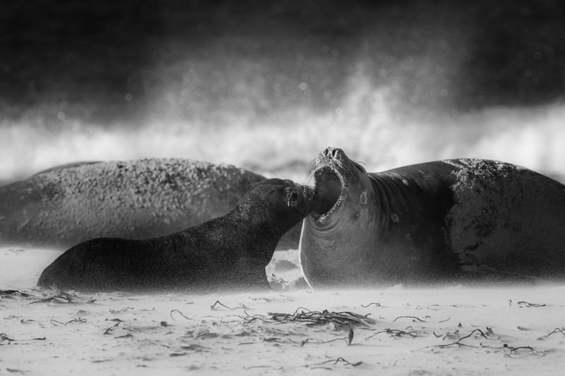 Southern elephant seal cow and pup, Sea Lion Island
