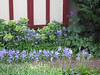 April 2008.  Bluebell time, with green-flowered Helleborus argutifolia and a volunteer cineraria (Pericallis x hybrida).