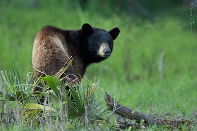 Louisiana Black Bears