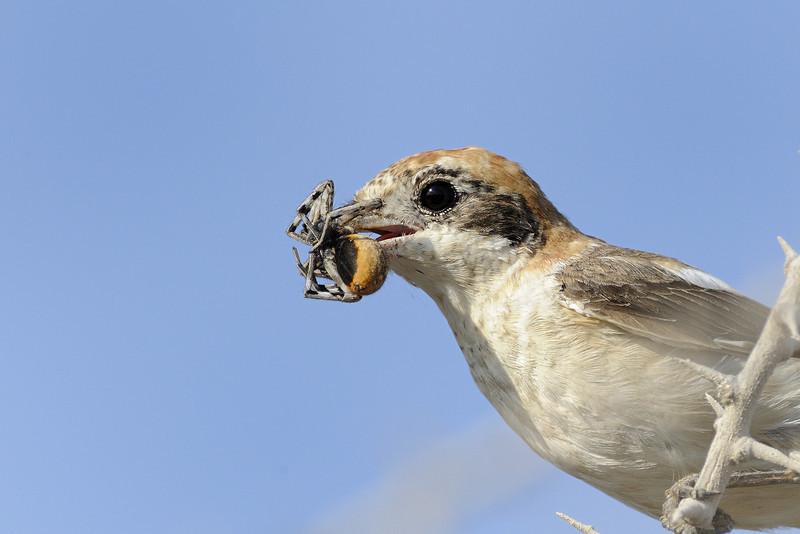 Woodchat Shrike
