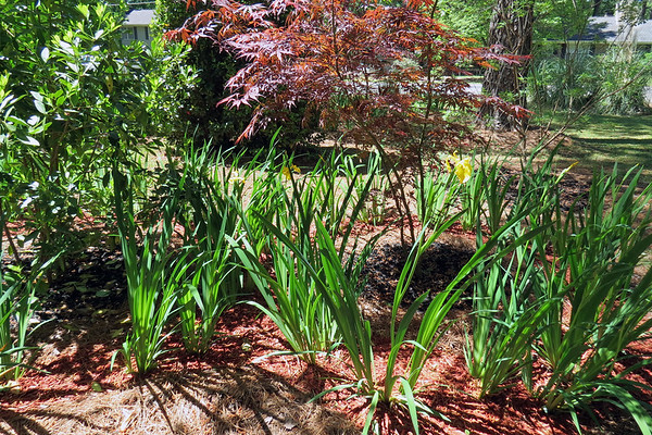 April 21 - May 3:  Tracking the iris blooms .  .  .