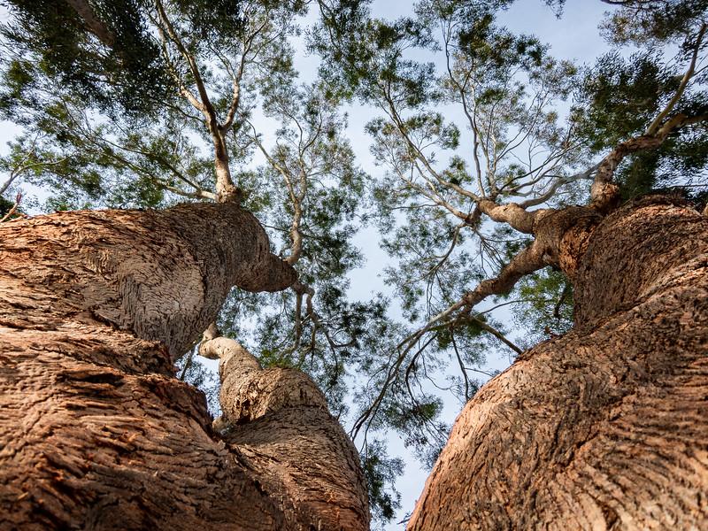 Two Trees, San Jose, California, 2010