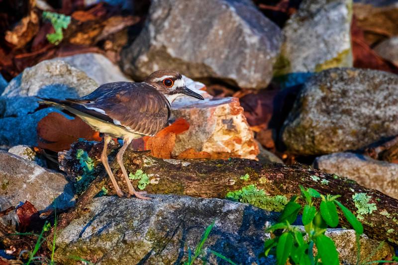 6.25.19 - Prairie Creek Marina: Killdeer Chick