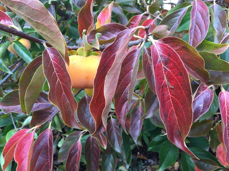 Persimmon in fall