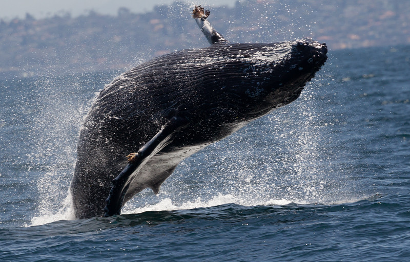 Humpbacked Whale San Diego Waters 2016 07 05-2.CR2
