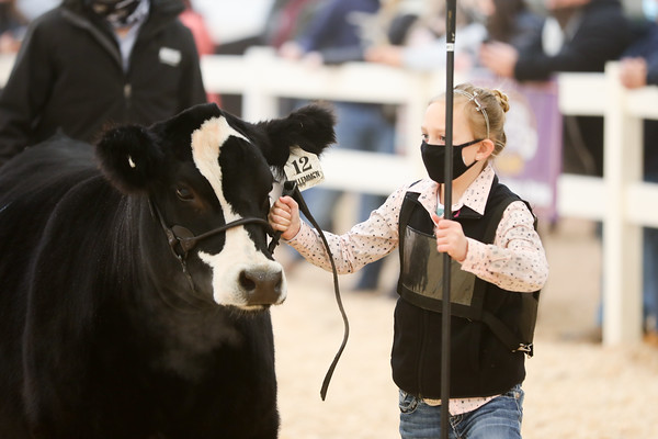 Simmental Heifers