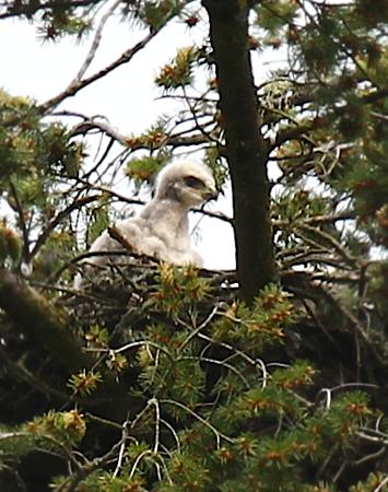 May 19, 2012 Hawk babies   4448.png