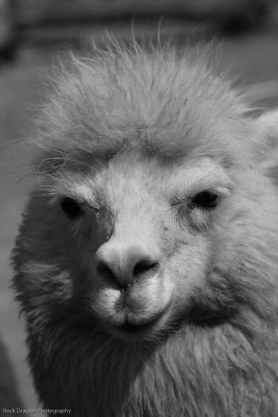 A llama in the Sacred Valley, Peru.