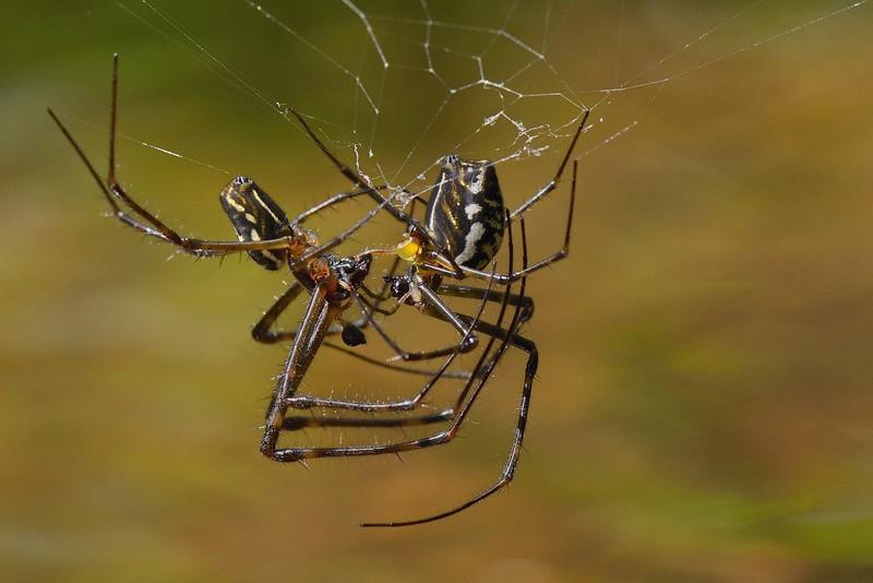 Big-bellied-spiders-mating.jpg