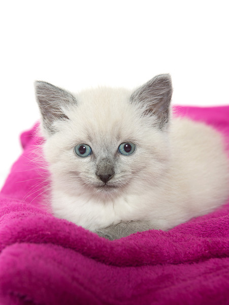 Cute baby kitten laying down on purple blanket with white background