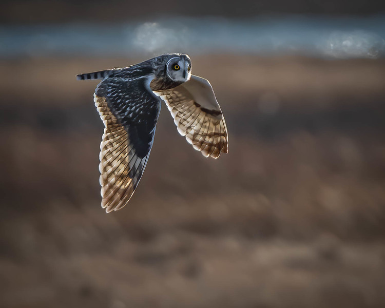 Short-eared Owl flying river