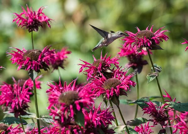 DAVID LIPNOWSKI / WINNIPEG FREE PRESS  A humming bird looks for nectar at Assiniboine Park's English Garden Sunday August 19, 2018.