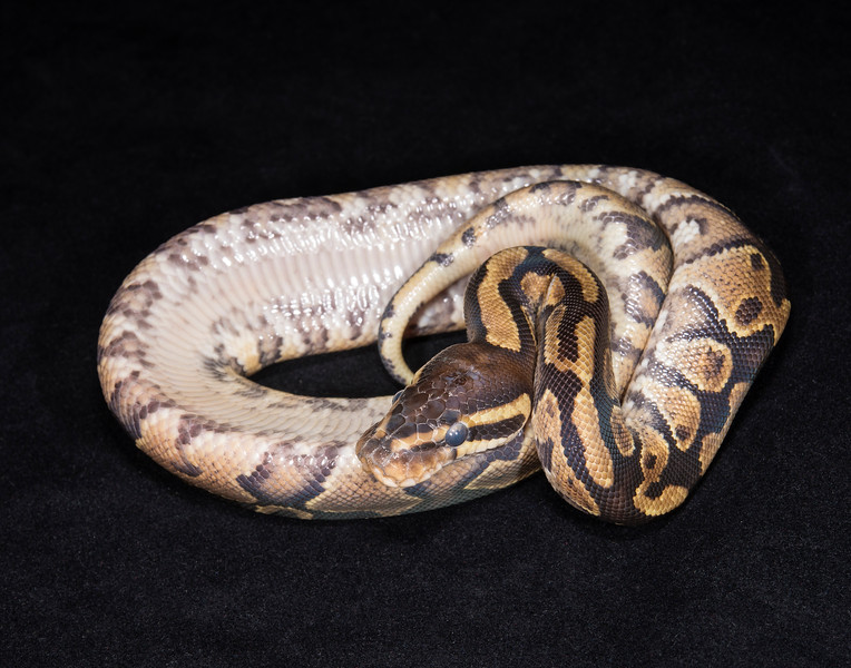 118MSPK, male Spark/Yellow Belly, free with purchase of 3 female Spark/Yellow Bellies, hold for Darlene S.