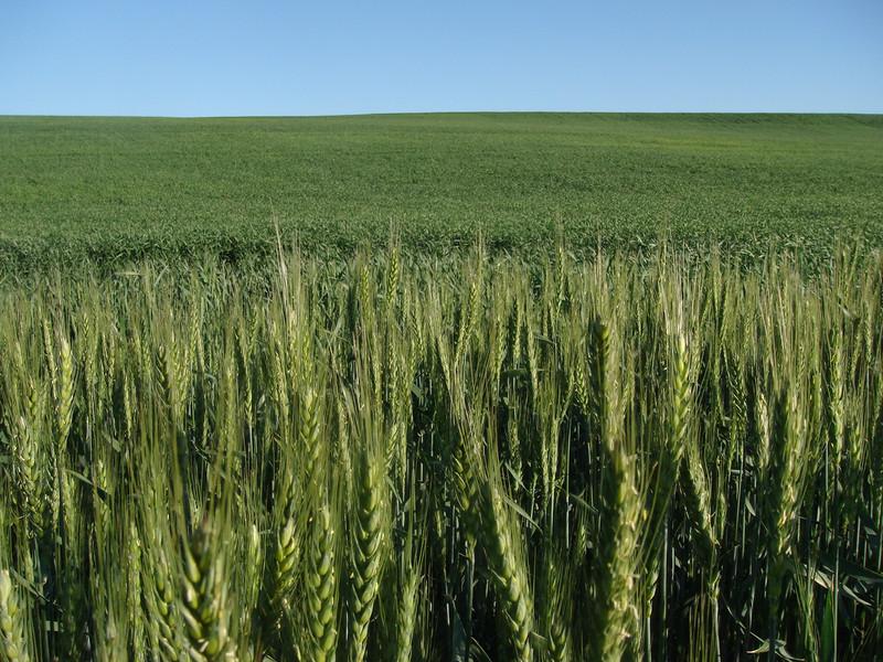 Wheat-DSC01996.jpg