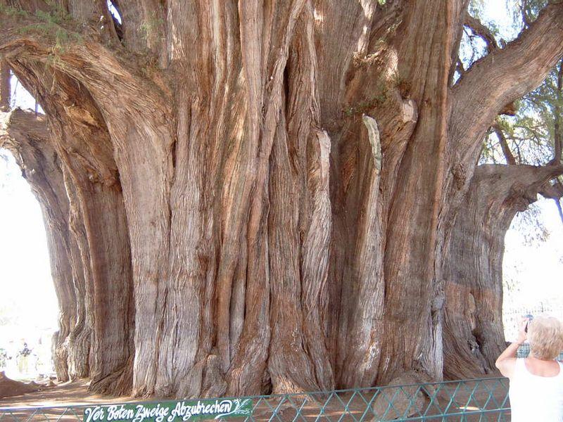 Mexico-Tule-Tree12.jpg