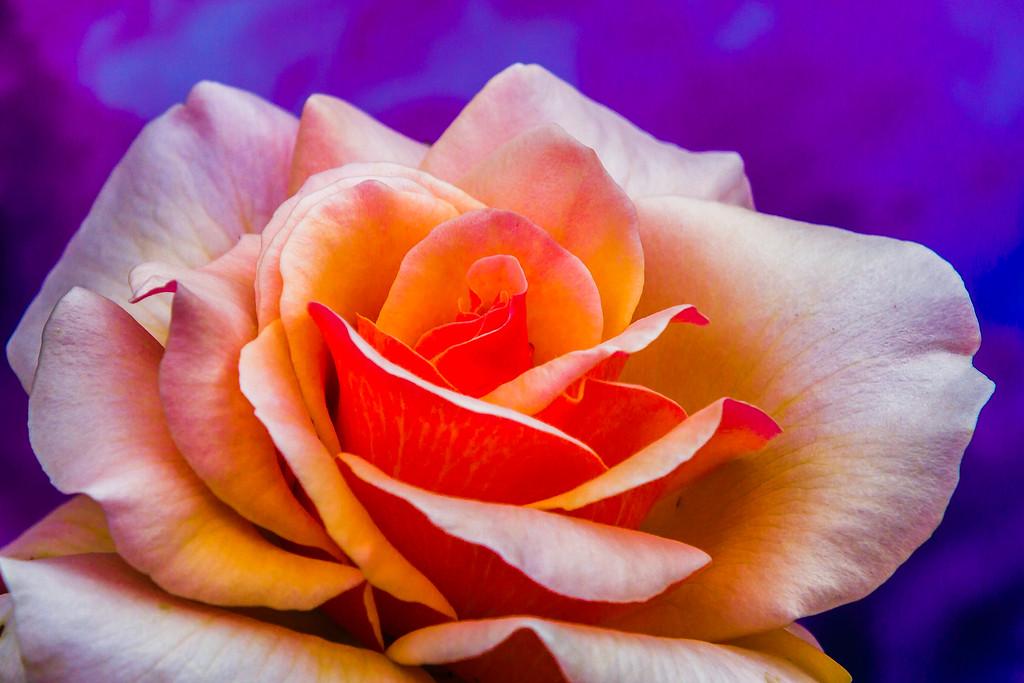 玫瑰花,展开局部