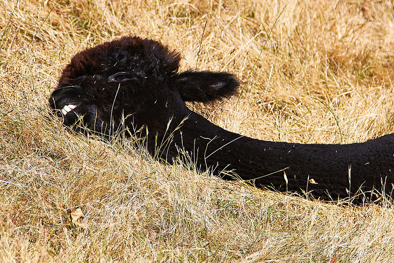 Despite looking a bit deceased this fuzzy guy was giving himself a good roll in the grass at the Krystal Acres Alpaca Farm in Friday Harbor, WA.