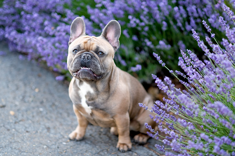 ralph-french-bull-dog.jpg
