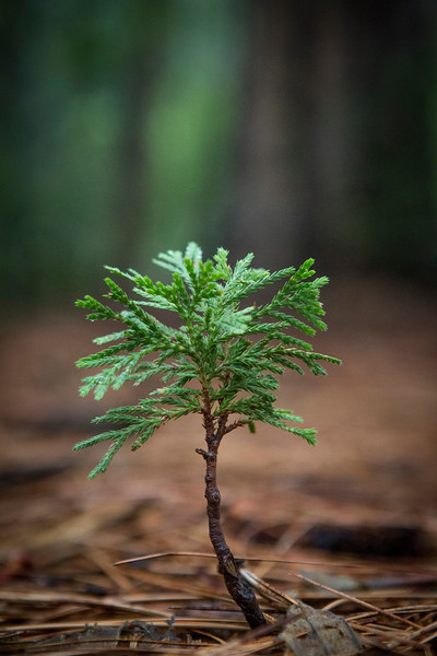 Redwood Sprout, Forest Floor