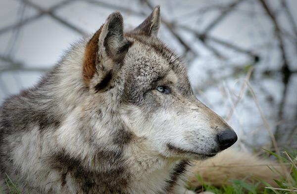 Wolf Park - April 2011